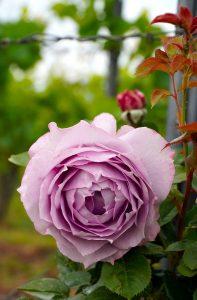rose, blossom, bloom